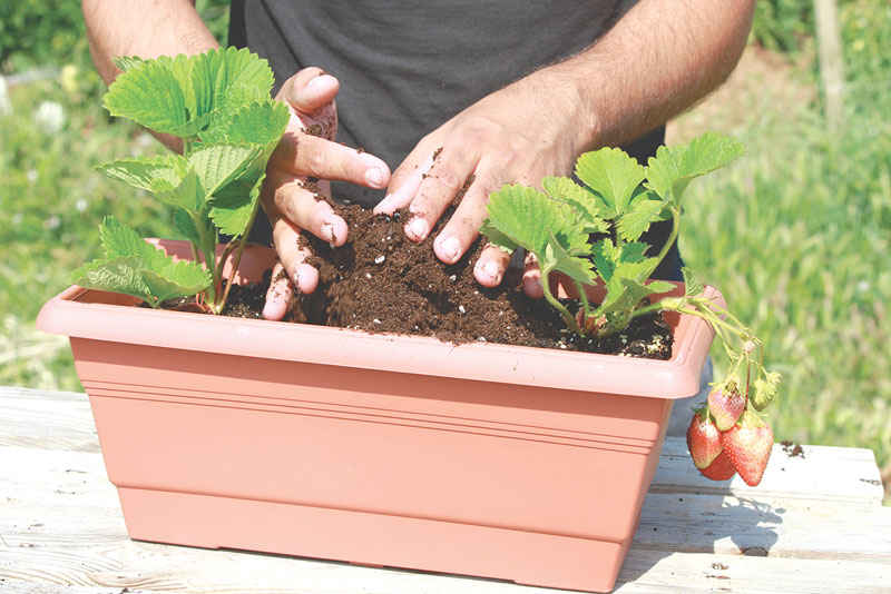 strawberries_gardening