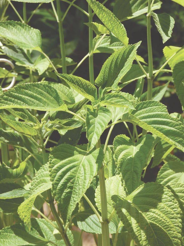 chia_leaves