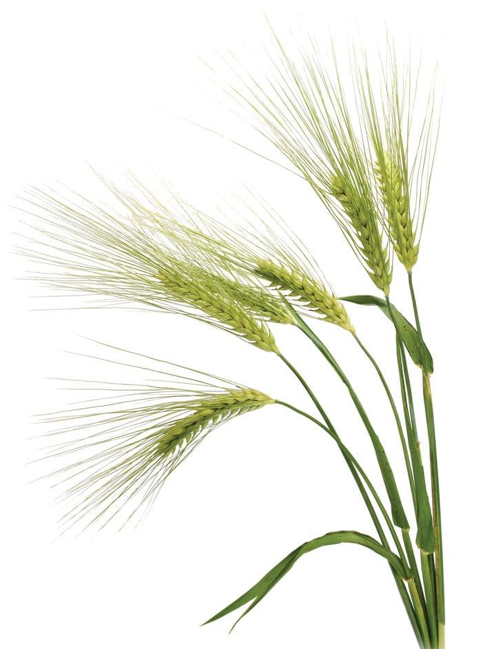 wheat-Δυσανεξία στη γλουτένη;-naturanrg