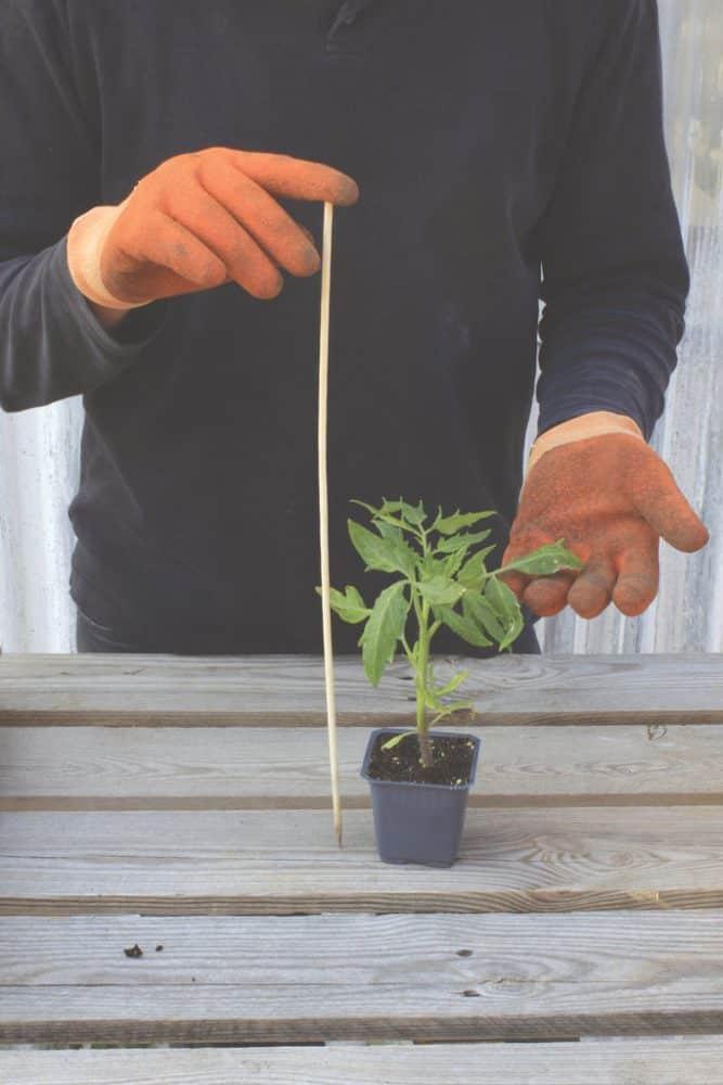 tomato_plant_01