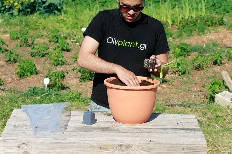squash-planting
