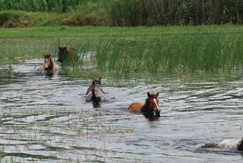 horses_lake kerkini