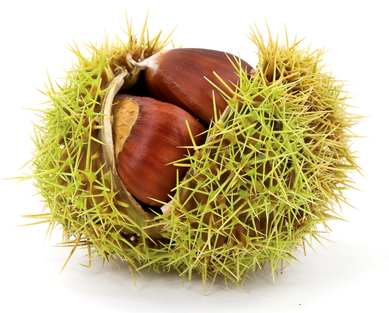 green-chestnut