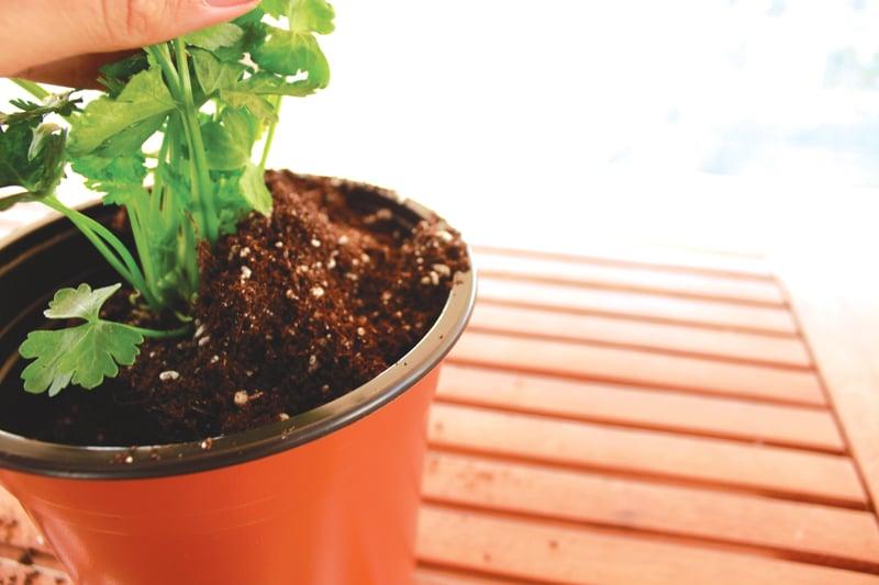planting-celery