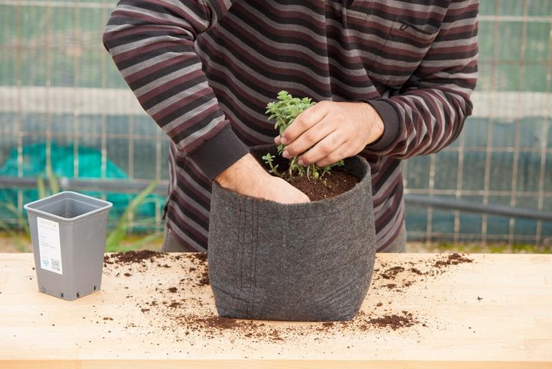 oregano-soil