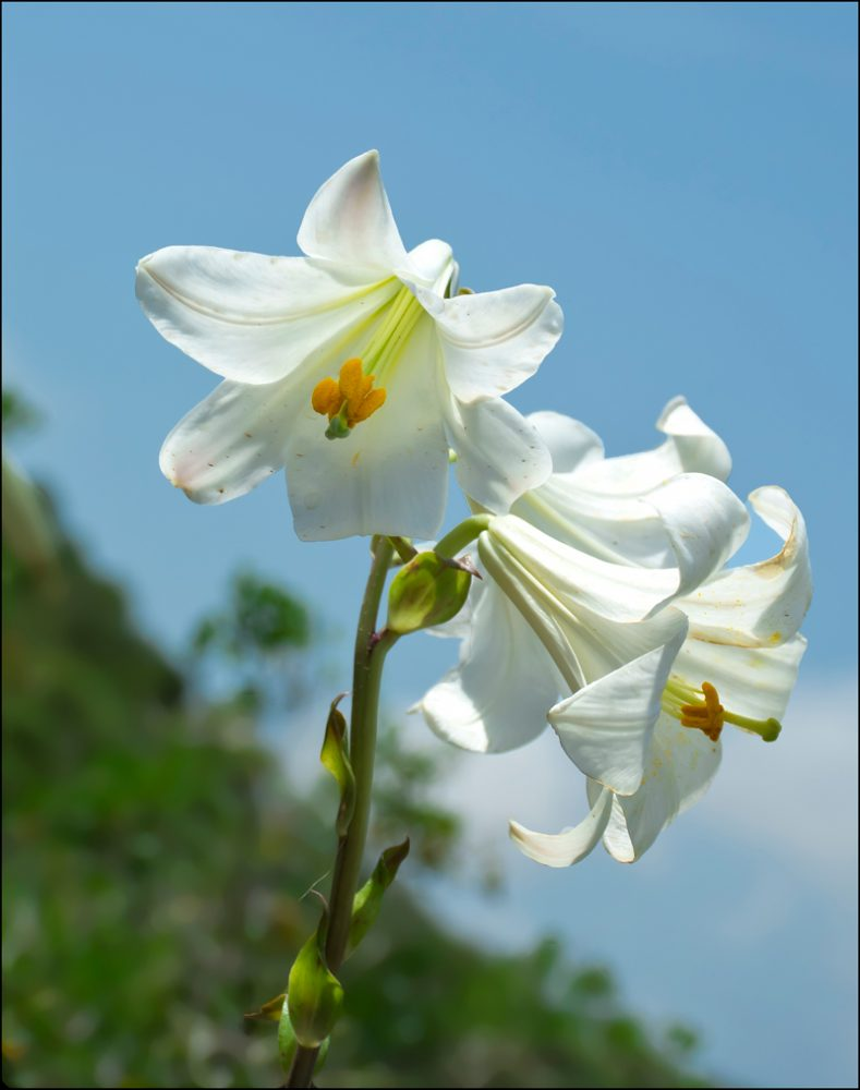 madonna-lily