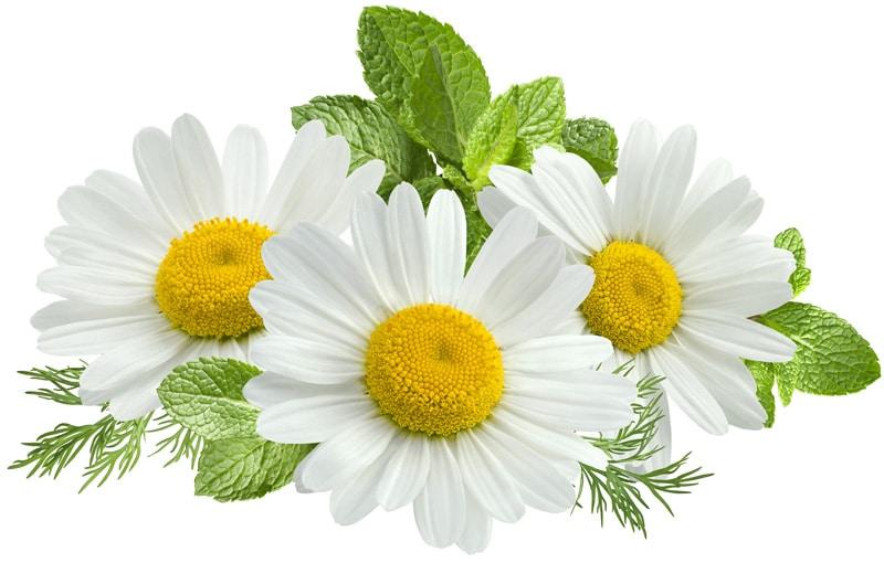 Beauty-Summer-chamomile-84